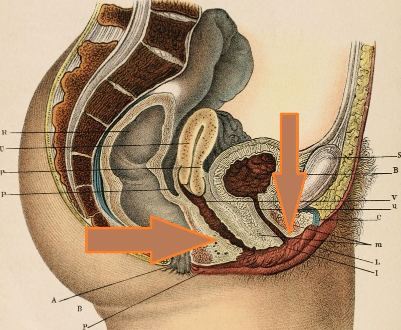 anatomia del canal del parto y la uretra - Canal Chupete