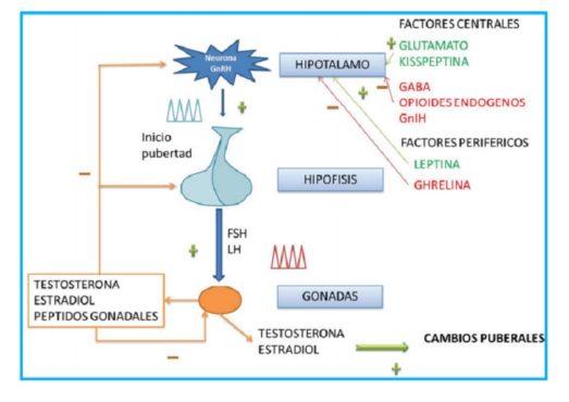 Cambios neuroendocrinos